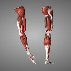 WGZM - Sehnen-und-Muskeln